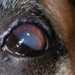 csm_Primaere-Linsenluxation-_PLL_-in-die-vordere-Augenkammer-Hund_a350cbcd4b